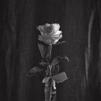 Простые вещи (белая роза) :: Юрий Клёнов