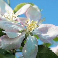 Один раз в год сады цветут... :: Swetlana V