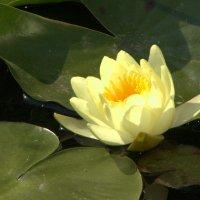 Солнечный цветок :: Татьяна_Ш