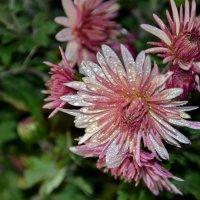 Ноябрьские цветы :: Ольга Голубева