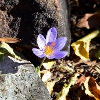 Осеннее цветение крокуса :: Ольга Голубева