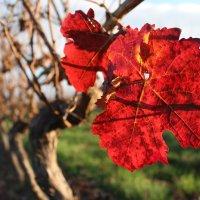 Виноградный листопад :: Veronika Gug