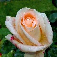 Осенние капли на розе. :: Пётр Сесекин