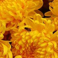 Ноябрьские хризантемы :: Светлана