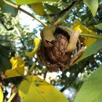 Орехи нового урожая :: Ириша ****