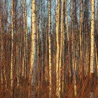 Берёзовые джунгли :: Фотогруппа Весна.