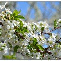 Вишня в цвету :: Ольга Савотина