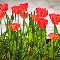 тюльпаны :: Светлана Амелина