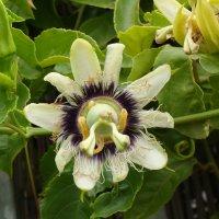 Цветок пасифлоры :: susanna vasershtein
