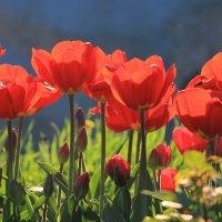 Тюльпановый рай :: Вера Лучникова