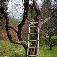 Лестница в новый яблоневый цвет. :: Ольга Курохтина