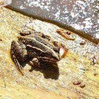 Лягушка :: Анастасия Светлова