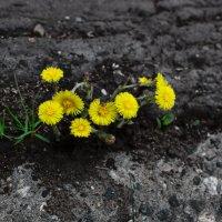 Цветы на бетоне :: Игорь Guess Who