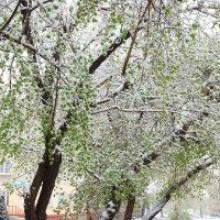 Вот он - -май... сибирский май! :: Инна Зуева