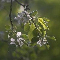 Яблони в цвету... :: Носов Юрий