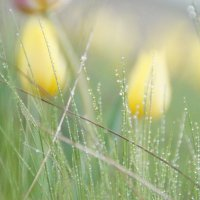 тюльпаны :: Елена Ягодина