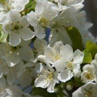 Черешня в цвету :: Елена Ягодина