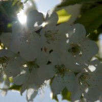 Черешня в цвету 2 :: Елена Ягодина