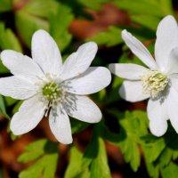 Весенние цветы :: Жанетта Буланкина