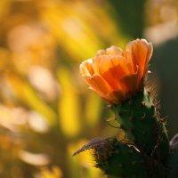Цветущий кактус :: Maria Zayviy