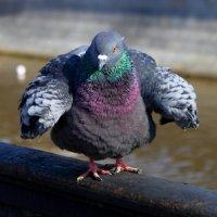 Любителям голубей :: Тахир Мурзаев