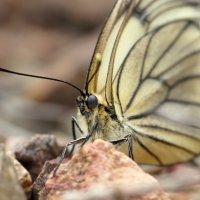 Бабочки :: Сергей Ко