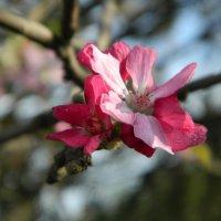 цветы яблони :: Alice Madman