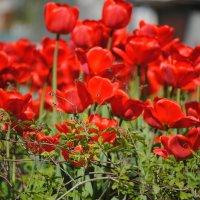 Цветы :: Олег Семенцов