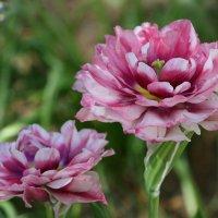 Тюльпаны :: Елена Багрий