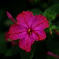 Flower :: Lilia Kogonia