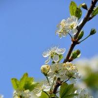 Сад в цвету :: Павел Чекалов