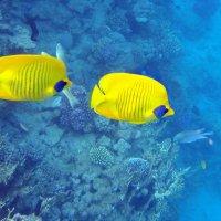 рыбы - бабочки :: Дарья Цыганок