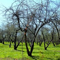 Яблоневый сад :: Наталия Носова