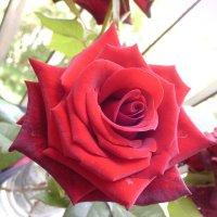 Прекрасная роза... :: Диля Урыксыбаева