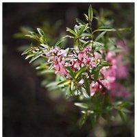 миндаль цветёт... :: Дмитрий Филиппов