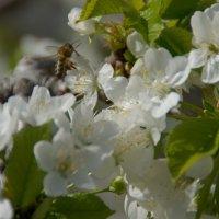 Пчелы на черешне :: Елена Ягодина