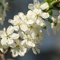 один раз в год сады цветут :: Татьяна Панчешная