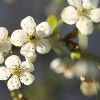 весной в саду :: Татьяна Панчешная
