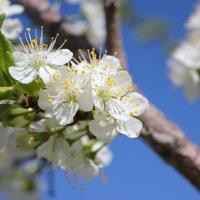 Весенние цветы :: Зинаида Ермакова
