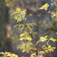 Солнце на листьях :: Зинаида Ермакова