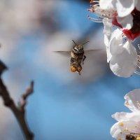 Пчела Мая :: Valery Penkin