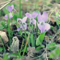 Первые весенние цветы) :: Юлия Кутьина