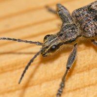 Гламурный жук. Фото №3 :: Nikolay T