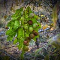 Странные шарики на листьях дуба :: Константин Снежин