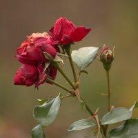 *** розы в ноябре :: Александра