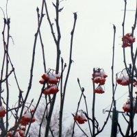 Рябина в снегу :: Vasilisa Vasileva