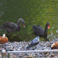 Ворона серая, утки красные, лебеди черные :: Дмитрий Никитин