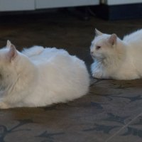 Два белых комочка :: Светлана