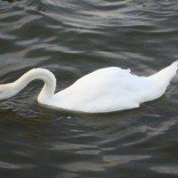 Лебедь :: Надежда Савельева