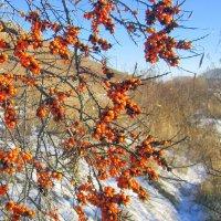 Облепиха на снегу , оранжевая на белом ... :: Мила Бовкун